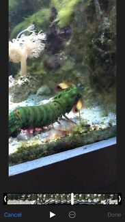 Hand feed peacock mantis 4x2x2 tank