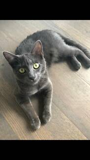 Russian Blue Cat/ Kitten