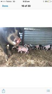 Free range Piglets. Ready 1st week of December. Glen Innes Glen Innes Area Preview