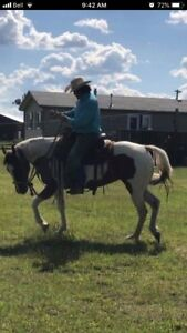 7yr old Playgun Mare