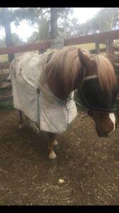 13.3hh unbroken chestnut pony mare Armidale Armidale City Preview