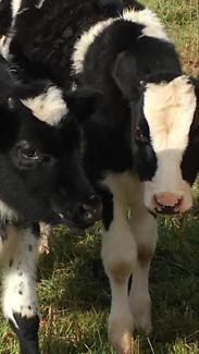 Friesian steers x 2 nine months old