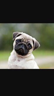 Wanted: Wanted male pug