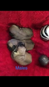 Pug Puppy's 3 males left