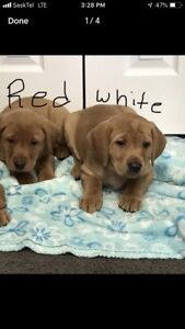 Purebred Fox Red Lab Puppies  2 males available