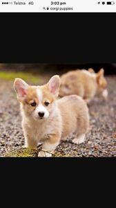 Purebred Corgi Puppy Wanted Coolamon Coolamon Area Preview