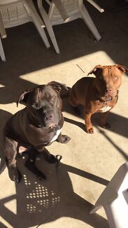 Needing house to rent w/ 2 beautiful dogs  Helensvale Gold Coast North Preview