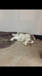 Neutered Bunny for Adoption