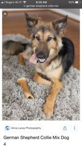 "Looking for a male ""shepollie""/shepherd collie"