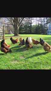 10 Chickens for sale $20 for all or $5 each Airlie Beach Whitsundays Area Preview