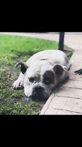 Australian Bulldog loving home found
