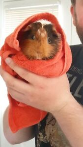 1 year old Guinea Pigs - Females