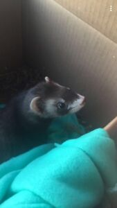 URGENT 2 male ferrets for sale