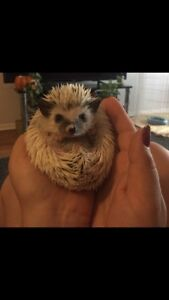 5 month old Hedgehog