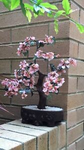Lucky Japanis tree Maroubra Eastern Suburbs Preview