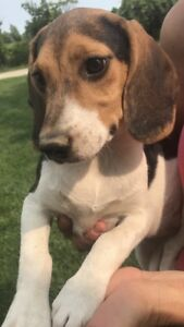 Female Beagle Puppies for sale