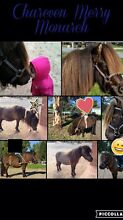 Shetland pony - Part lease Forrestfield Kalamunda Area Preview