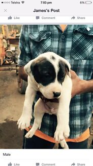 Pure breed bullarab pups  McGraths Hill Hawkesbury Area Preview