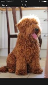 Looking  for a Mini/Medium Labradoodle or Goldendoodle