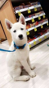 White husky puppy with BLUE EYES ❤