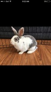 *URGENT* friendly bunny needs a forever loving home!