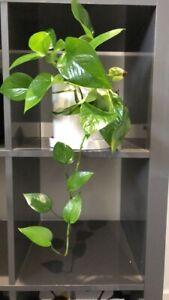 Devils ivy / pothos plant $30.00