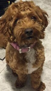 Cavoodle (Cavalier x Poodle Female) *Free Delivery* Uralla Uralla Area Preview