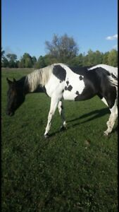APHA Broodmare for sale!