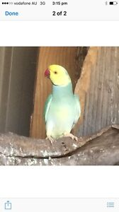 Indian Ringneck Parrots for sale Dublin Mallala Area Preview
