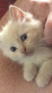 Ragdolll kitten