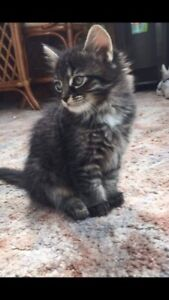Female Maine Coon Kitten!!!