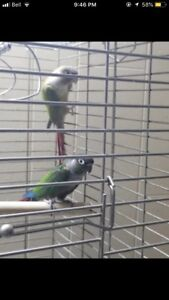 Breeding pairs for sale