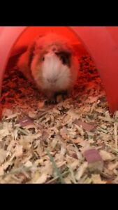 1.5 year old Guinea Pig  FREE  for rehoming