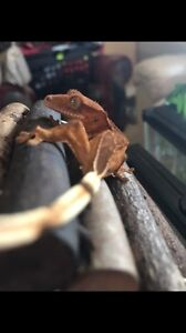 Looking to rehome my crested geckos!