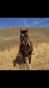 Registered Mare for sale