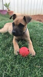 Staffy Cross Puppy for Adoption - $500 ono Forrestdale Armadale Area Preview