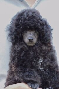 Gorgeous Tiny Toy Poodle Puppy Epping Ryde Area Preview