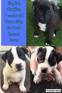 English Staffy puppies Strathfield Strathfield Area Preview
