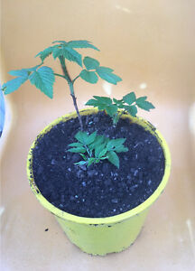 Raspberry plants, Nellie Kelly Penshurst Hurstville Area Preview
