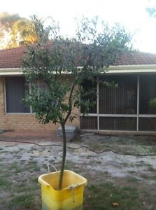 Olive tree Noranda Bayswater Area Preview