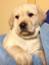 Registered Labrador Puppies Baulkham Hills The Hills District Preview