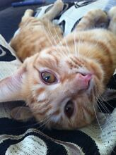 Beautiful tabby - Needs a new Home - Free to a good family! South Perth Area Preview
