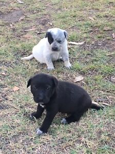 Smithfield cattle dog x border collie pups Grandchester Ipswich City Preview