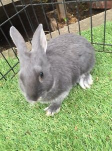Gorgeous baby bunnies-rabbits $30 each Coburg Moreland Area Preview