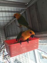 Jenday conures Brookfield Brisbane North West Preview