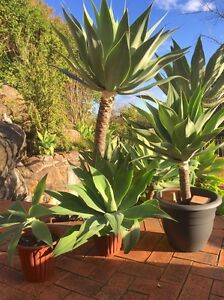 Agave Attenuata - Various sizes - Large quantities Kogarah Bay Kogarah Area Preview