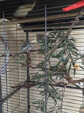 Two young hand reared weiros, large cage and play gym Woodlands Stirling Area Preview