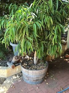 Wine barrel with ficus Booragoon Melville Area Preview