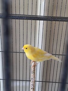 Canary female border Rockdale Rockdale Area Preview