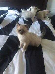 Ragdoll kittens Buddina Maroochydore Area Preview